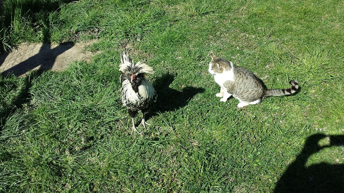 La Maria Carla interessata alla gallina padovana